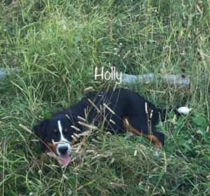 Holly - Bernese Mountain Dog chilling in the grass