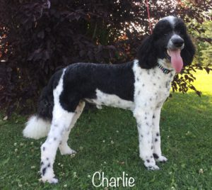Charlie - Standard Poodle from Dogs of Jersey Acres