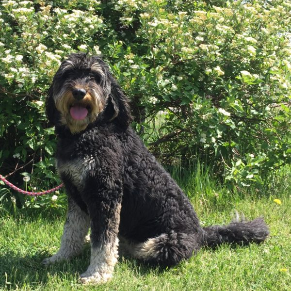 Bernedoodle sitting in front of a flowering bush