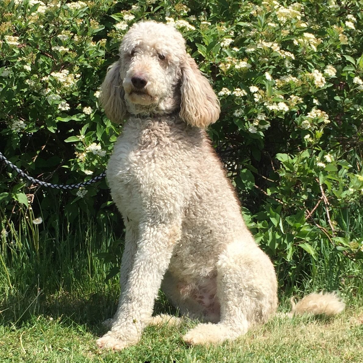 Jack - Standard Poodle from Dogs of Jersey Acres