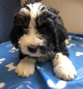 Brown Boy - Bernedoodle puppy picture