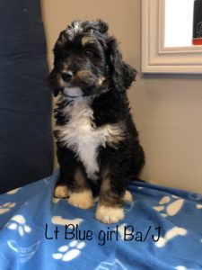Lite Blue Girl - Bernedoodle puppy picture