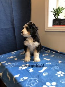 Pink Girl - Bernedoodle puppy picture