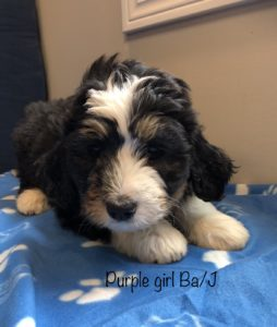 Purple Girl - Bernedoodle puppy picture