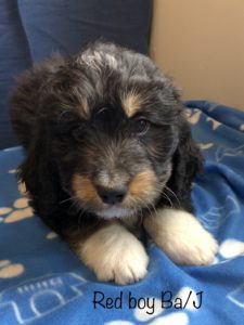 Red Boy - Bernedoodle puppy picture