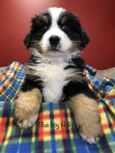 Blue Boy - Bernese Mountain Dog puppy picture