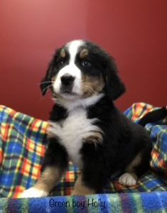 Green Boy - Bernese Mountain Dog puppy picture