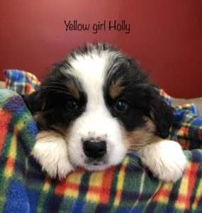 Yellow Girl - Bernese Mountain Dog puppy picture