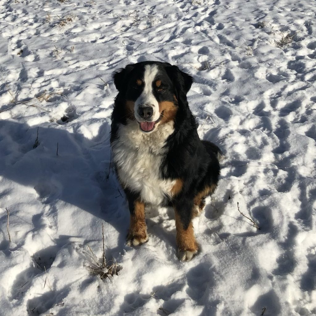 Bernese Mountain Dog sitting in the snow facing the camera