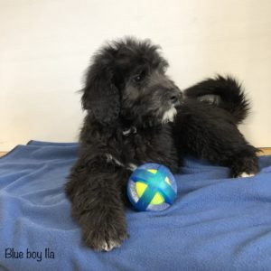 Black Bernedoodle puppy with white chin and some other small white spots laying on a blue blanket