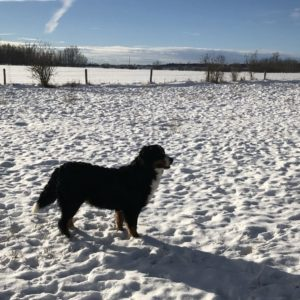 A Bernese Mountain Dog outside in the snow looking into the distance