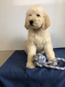tan Goldendoodle puppy sitting on blue blanket with rope toy between its feet
