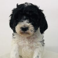 Black Boy - Poodle puppy from Dogs of Jersey Acres