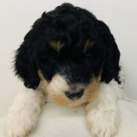 Brown Girl - Poodle puppy from Dogs of Jersey Acres
