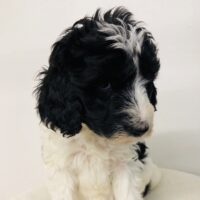 Lite Blue Girl - Poodle puppy from Dogs of Jersey Acres