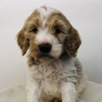 Orange Boy - Poodle puppy from Dogs of Jersey Acres