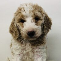 Pink Girl - Poodle puppy from Dogs of Jersey Acres