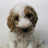 Purple Girl - Poodle puppy from Dogs of Jersey Acres