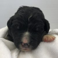 Closeup of one week old Bernedoodle puppy
