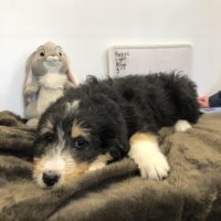 Tri Colored Bernedoodle puppy laying down with a rabbit stuffy