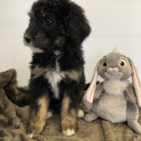 Tri colored Bernedoodle puppy sitting with a rabbit stuffy