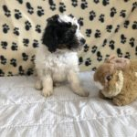 white body with a tri colored head Bernedoodle puppy sitting with a rabbit stuffy