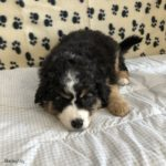 Tri colored Bernedoodle puppy laying down