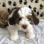 Brown and white Bernedoodle puppy