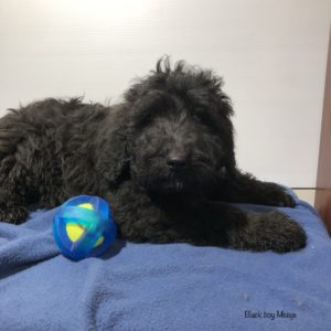 Black Goldendoodle puppy laying next to toy on blue blanket