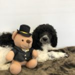 Black and white Standard Parti Poodle laying next to a teddybear