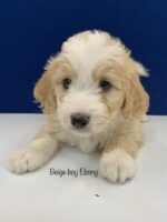 Tan and white male mini Bernedoodle puppy with medium long hair laying on a white floor. Labeled Beige Boy Ebony.