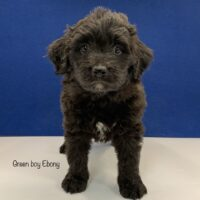 Dark Brown mini Bernedoodle puppy with small white spot on chin and chest standing looking at camera. Labeled Green boy Ebony