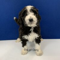 Black female mini Bernedoodle Puppy with four white paws, white chest and white racing strip on face. Labeled Pink girl Ebony