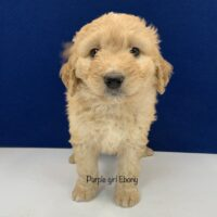 Tan female mini Bernedoodle puppy with long hair standfing looking at camera. labeled Purple girl Ebony