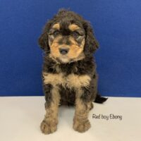 Dark brown male mini Bernedoodle puppy sitting with Tan paws chest muzzle and eye brows. Labeled Red boy Ebony