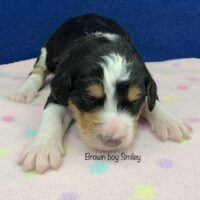 young tri colored black brown and white Bernedoodle puppy laying on a pink blanket