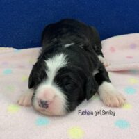 young black and white female Bernedoodle puppy laying on a pink blanket