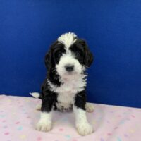 young black and white male Bernedoodle puppy sitting on a pink blanket