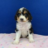 young tri colored black brown and white male Bernedoodle puppy sitting on a pink blanket