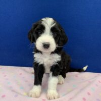 young black and white female Bernedoodle puppy sitting on a pink blanket