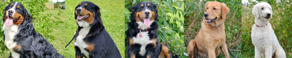 Bernedoodles of Jersey Acres